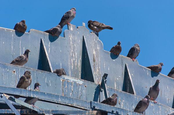 鳩 の 撃退 法